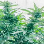Konoplja – marihuana